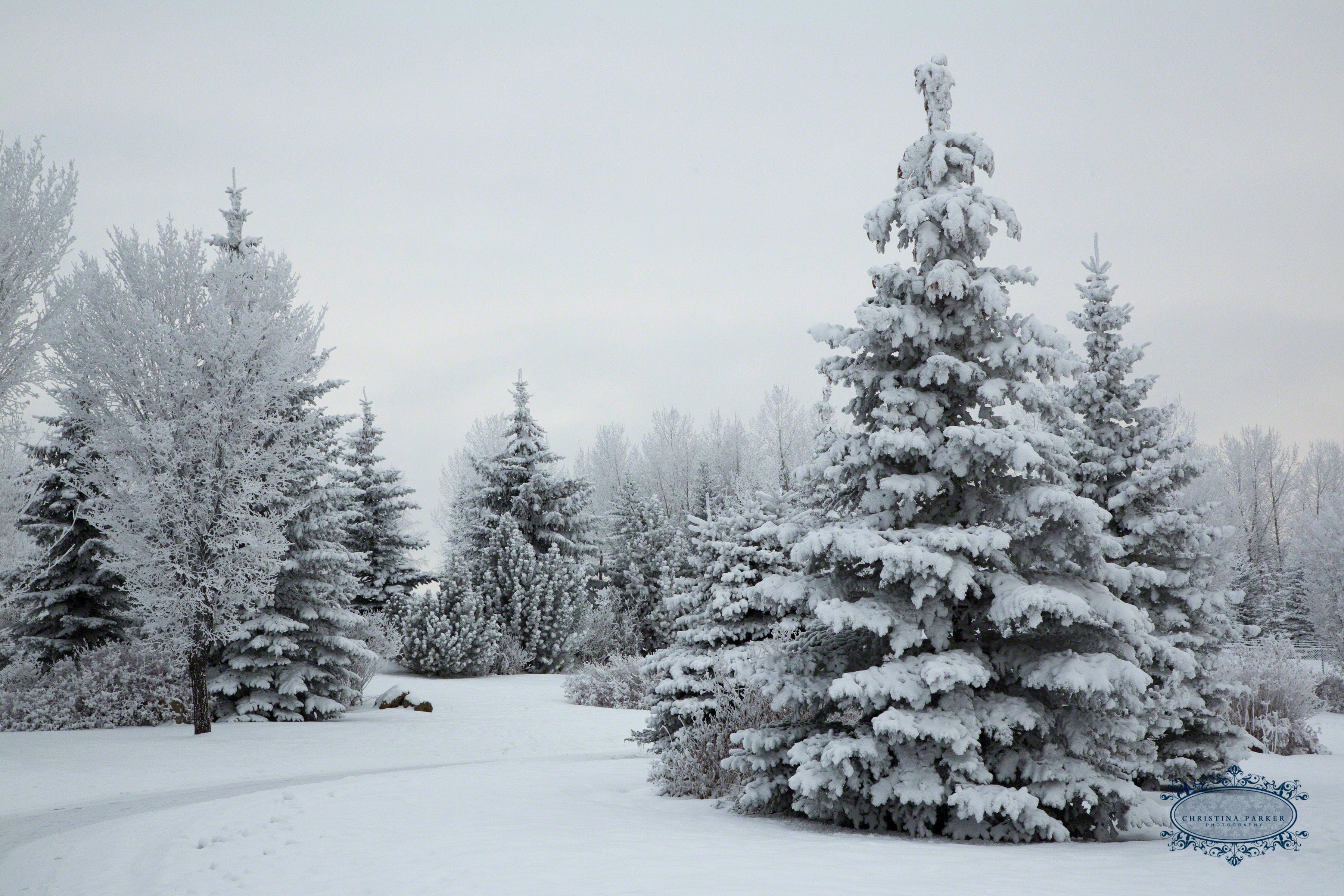 3a2a4522 Snowy Trees 8 215 12 Wm Dm Christina Parker Photography