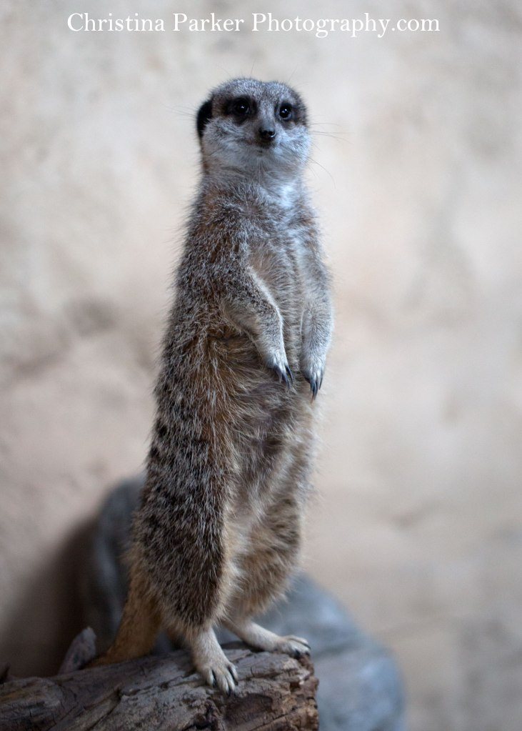 What is this Meerkat thinking?